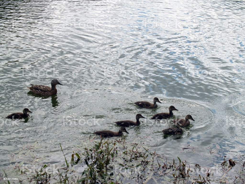 best website 448cb 635d0 Duck And Seven Ducklings Stock Photo - Download Image Now ...