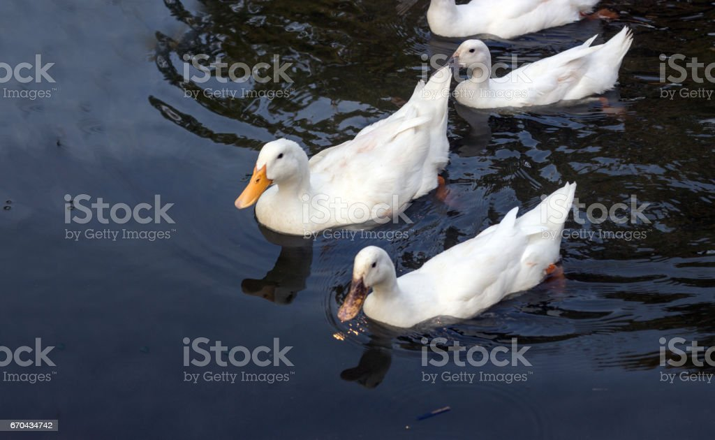 duck and won on water stock photo
