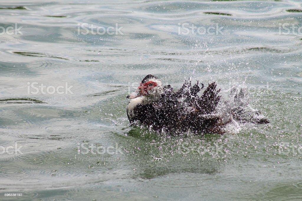 Duck Bath royalty-free stock photo