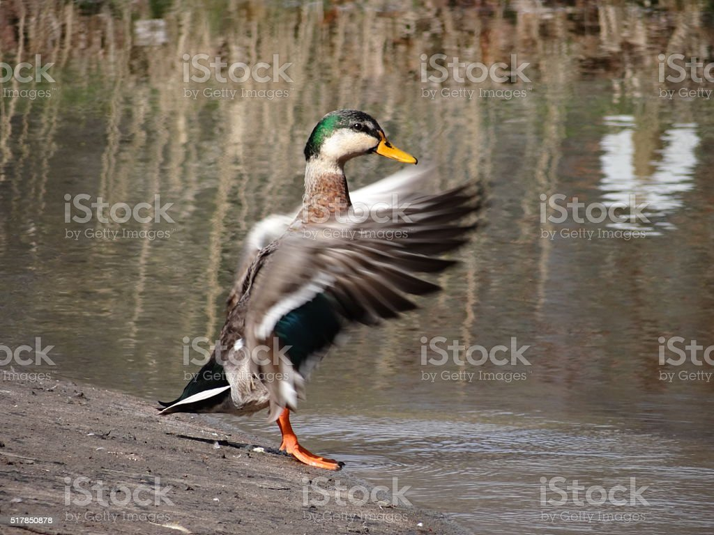Duck beating its wings stock photo