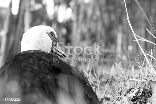 istock duck b-n 465082330
