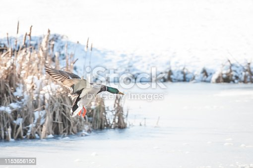 istock duck coming in to land 1153656150