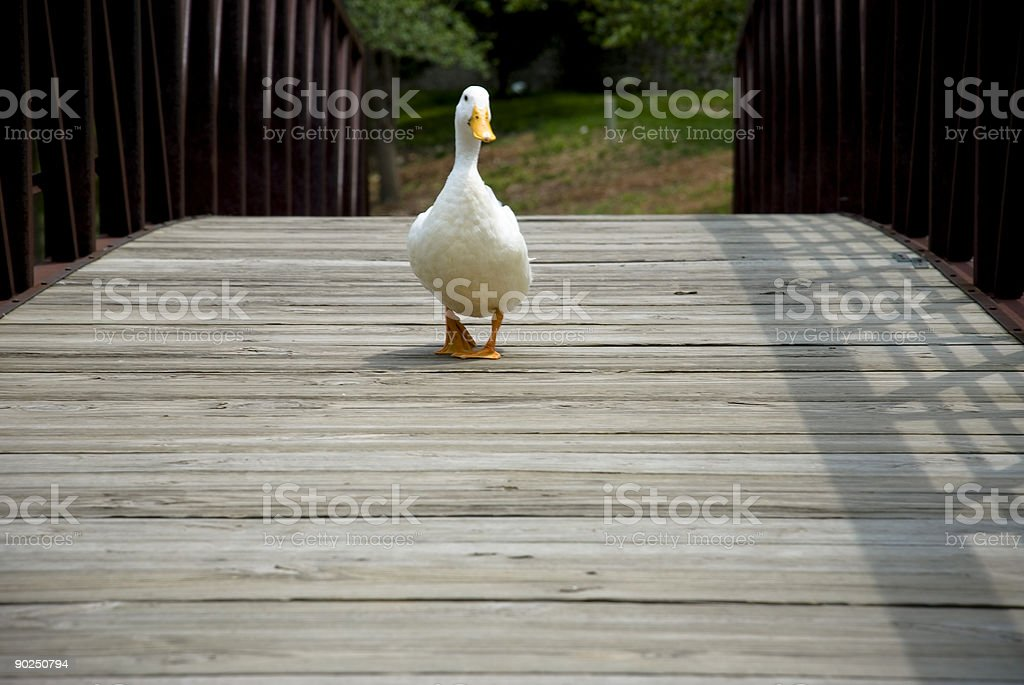 Duck Crossing royalty-free stock photo