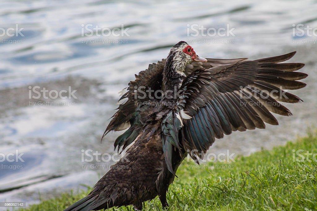 Duck Dancer stock photo