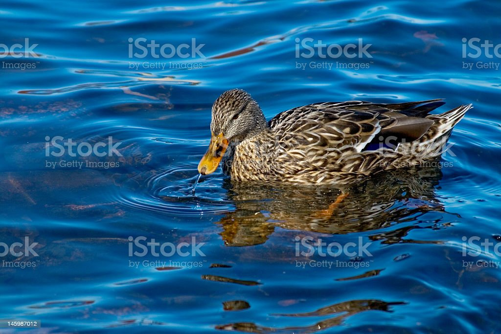Duck drinks water royalty-free stock photo