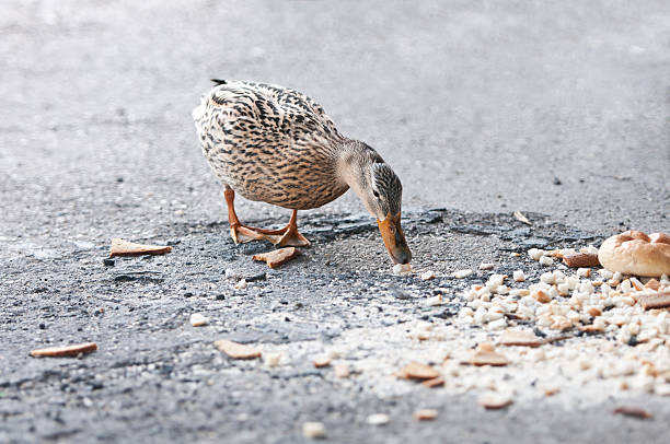duck eating crumbs from the floor stock photo