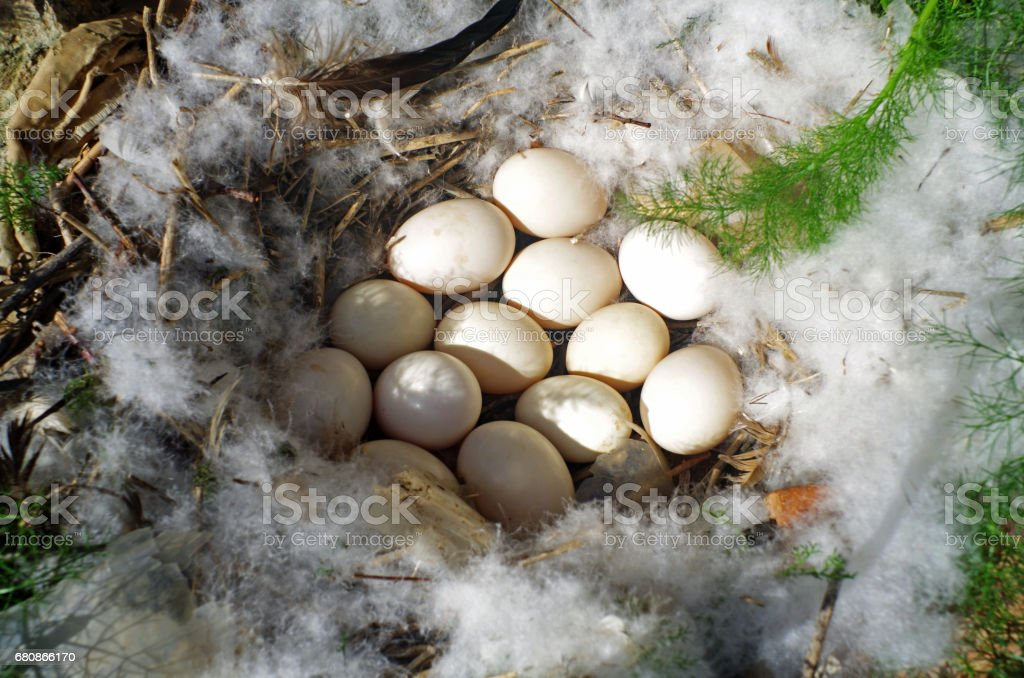Duck eggs in a nest on the ground. royalty-free stock photo
