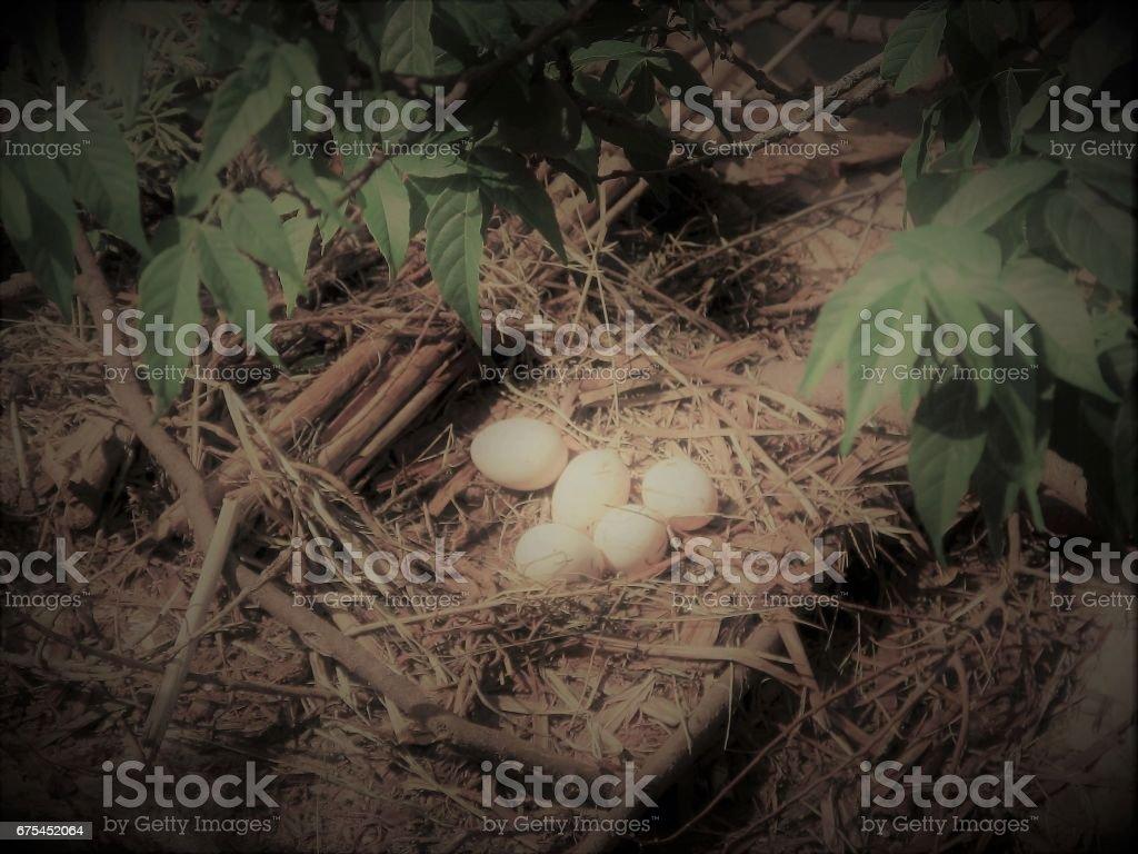 Œufs de canard photo libre de droits