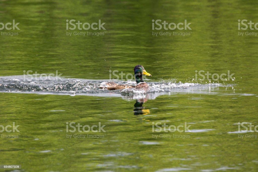 Lofoten에 하르 스타드에서 오리 가족 - 로열티 프리 강 스톡 사진