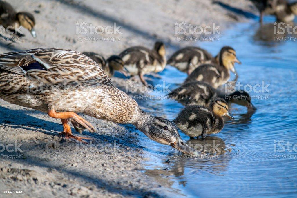 Entenfamilie am Strand – Foto