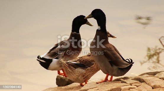 Close up of relaxing duck and drake outdoors in the nature. Duck is the common name for numerous species in the waterfowl family Anatidae which also includes swans and geese.
