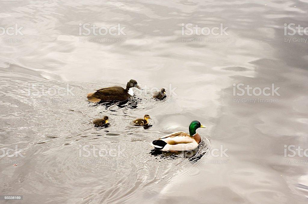 Duck Family royalty-free stock photo