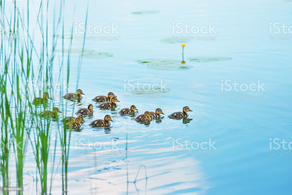 Duck family with many small ducklings - foto stock