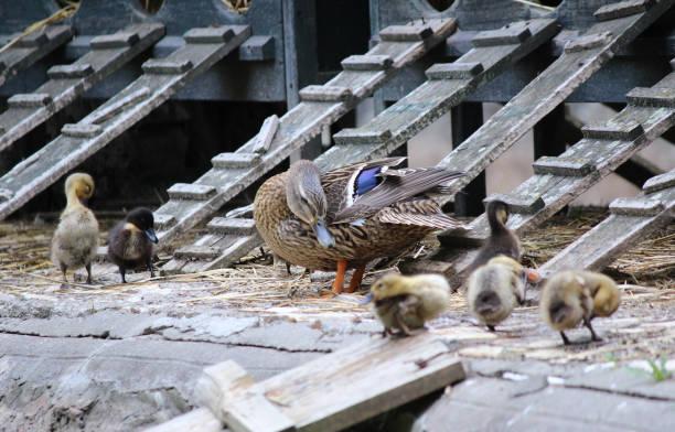 Duck farm stock photo
