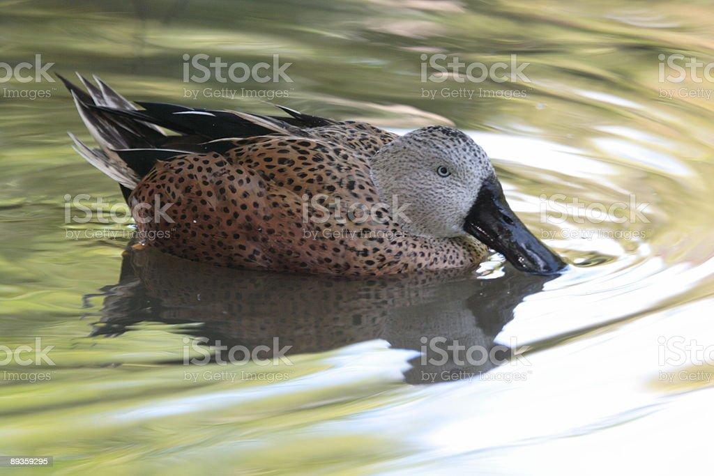 Duck Feeding 002 royalty free stockfoto