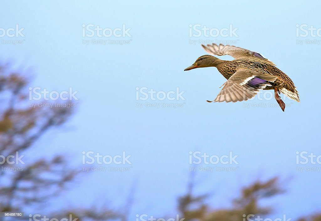 Duck flies royalty-free stock photo