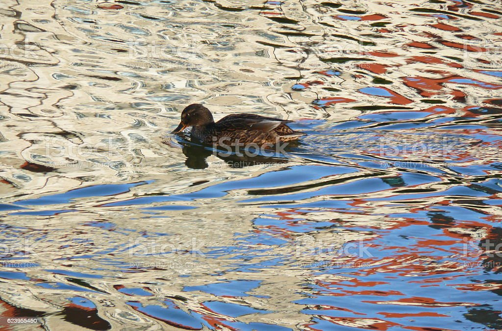 Duck floating on the lake in Hannover, Germany. stock photo