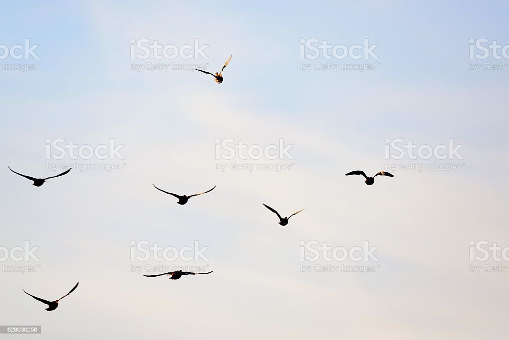 Duck Flock Flayaway stock photo