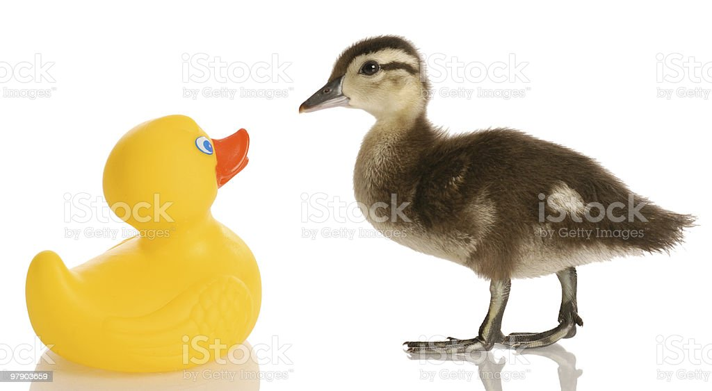 duck friends royalty-free stock photo