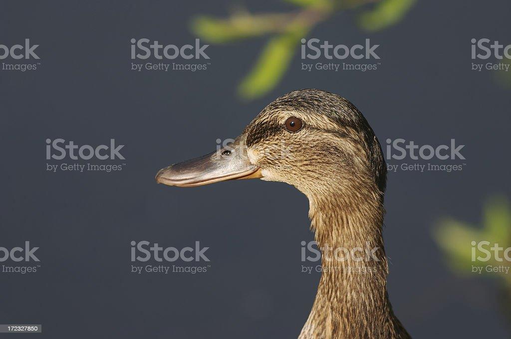 Duck head female mallard royalty-free stock photo