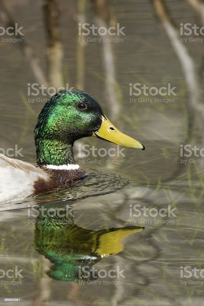 Duck in a lake royalty-free stock photo