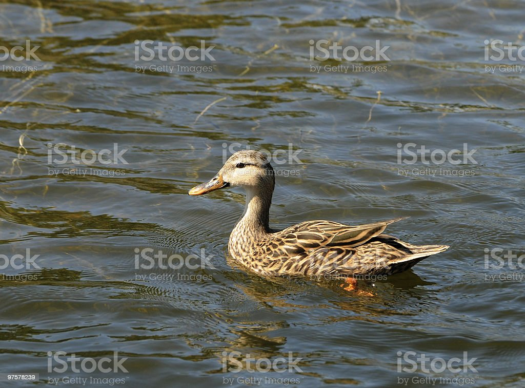 Duck in a pond royalty-free stock photo