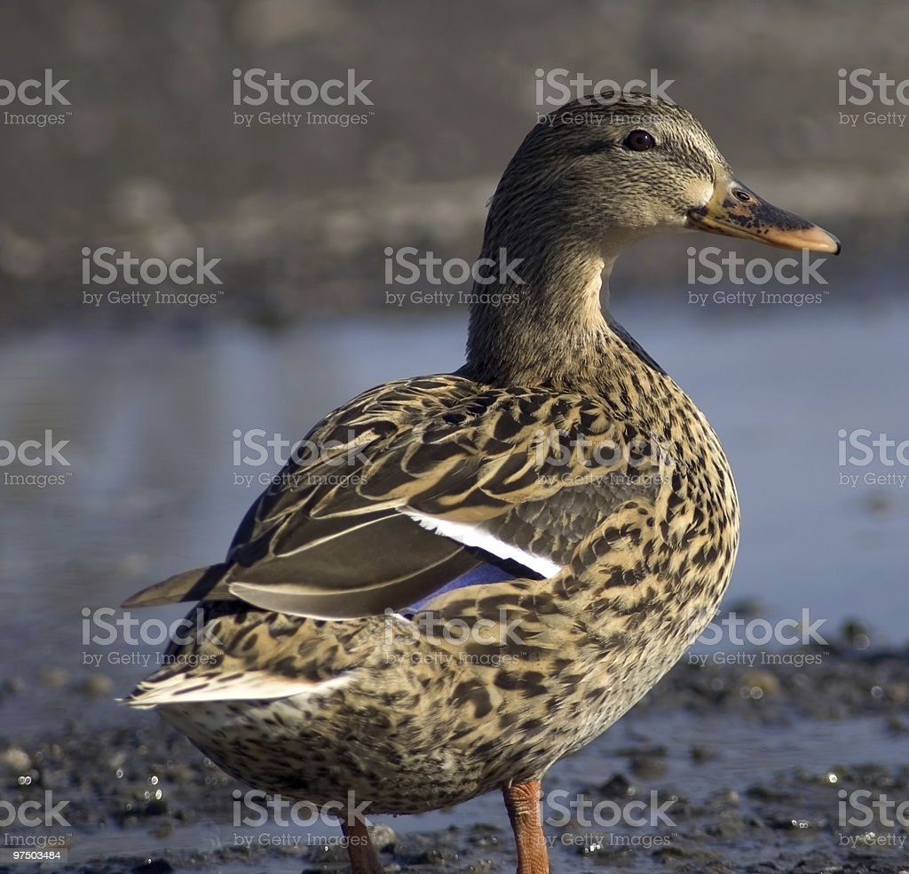 Duck in a Puddle royalty-free stock photo
