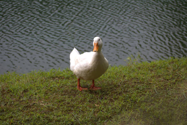 Duck in and beside water stock photo