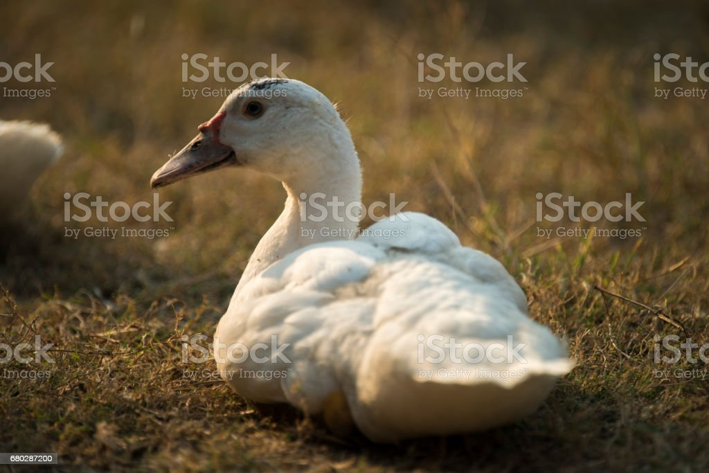 duck in animals farm stock photo