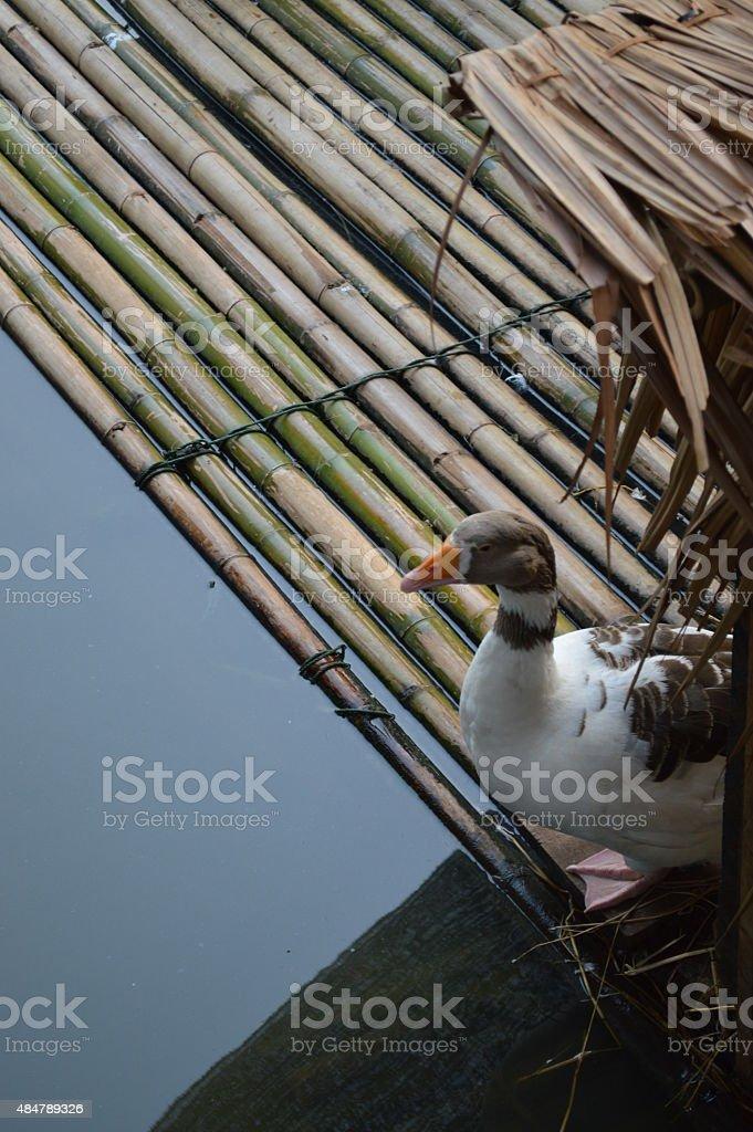 Duck in farm in Thailand stock photo