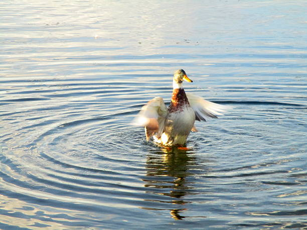 Duck in Lake, Flapping Its Wings stock photo