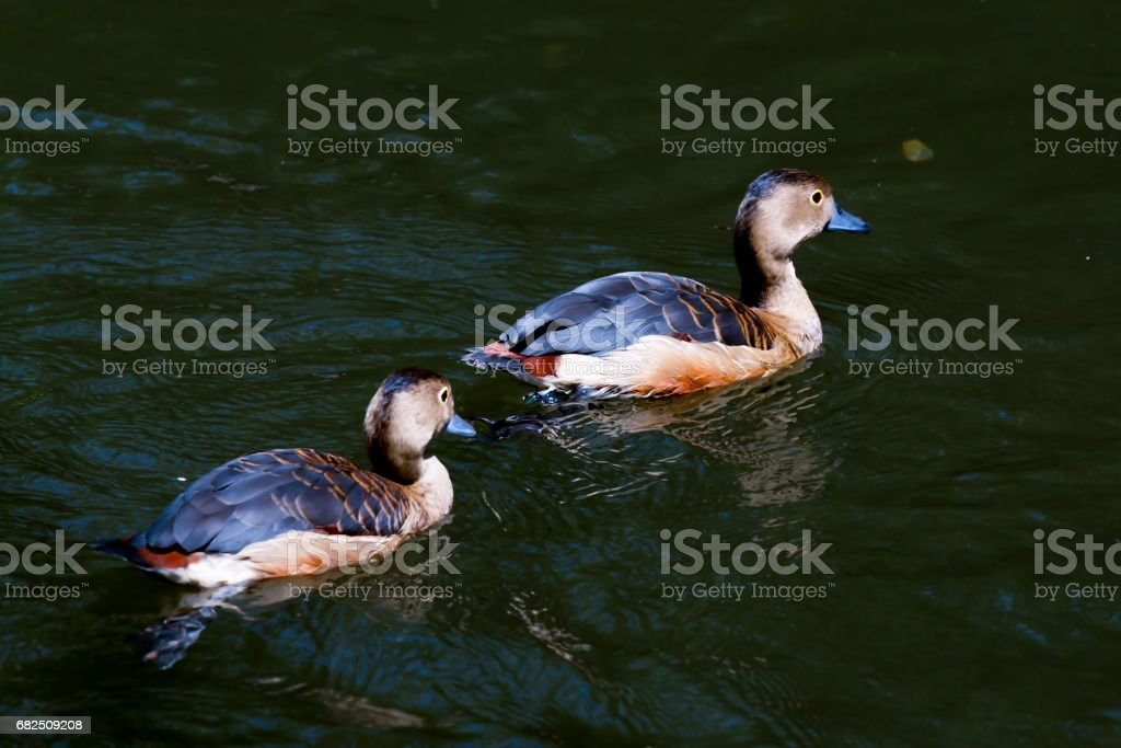 Duck in pond royalty-free stock photo