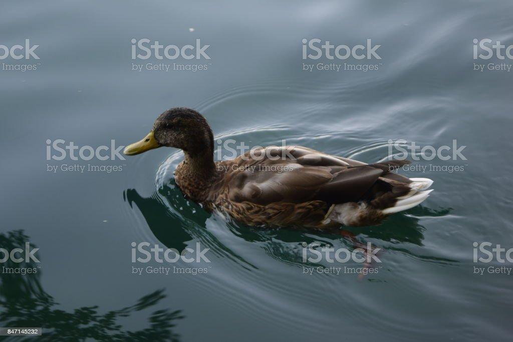 Duck in River 'Una' stock photo