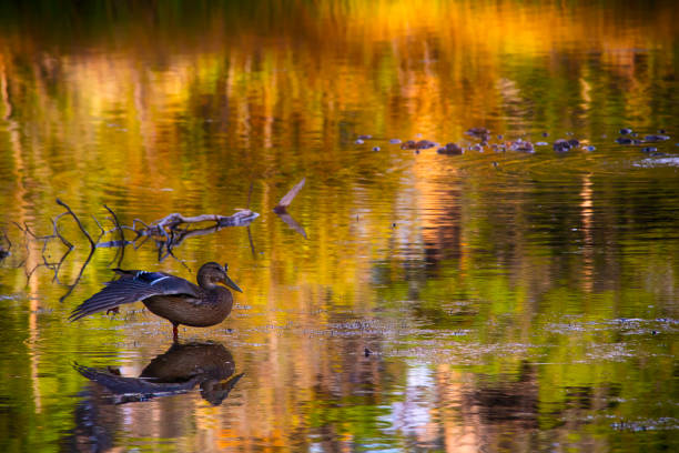Duck in Sprague Lake at Rocky Mountain National Park stock photo