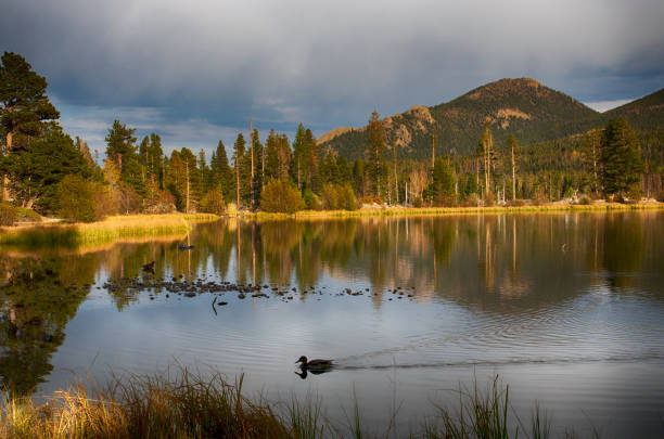 Duck in Sprague Lake at Rocky Mountain National Park Duck in silhouette in Sprague Lake at Rocky Mountain National Park rocky mountain national park stock pictures, royalty-free photos & images