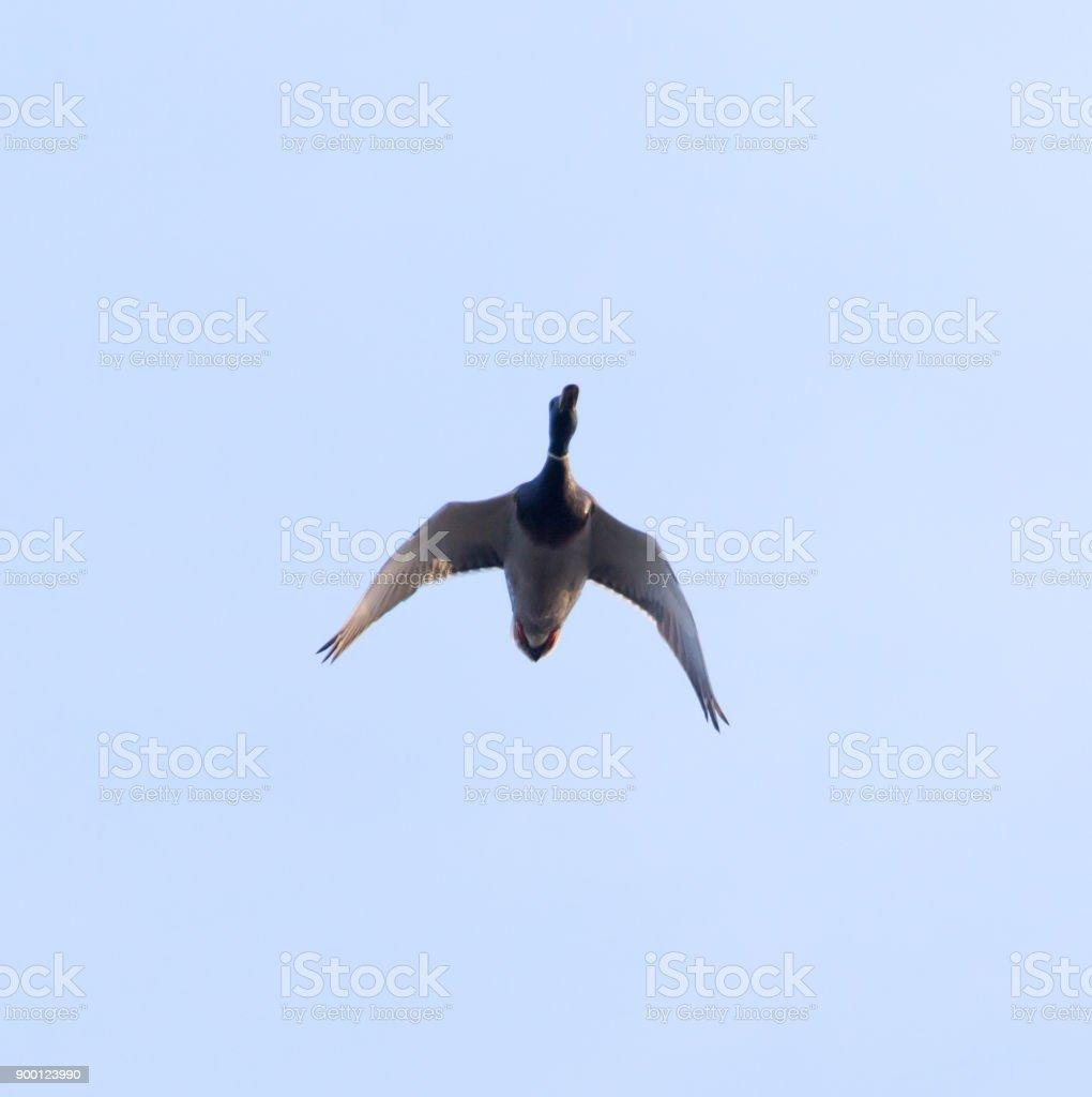 duck in the blue sky in flight stock photo