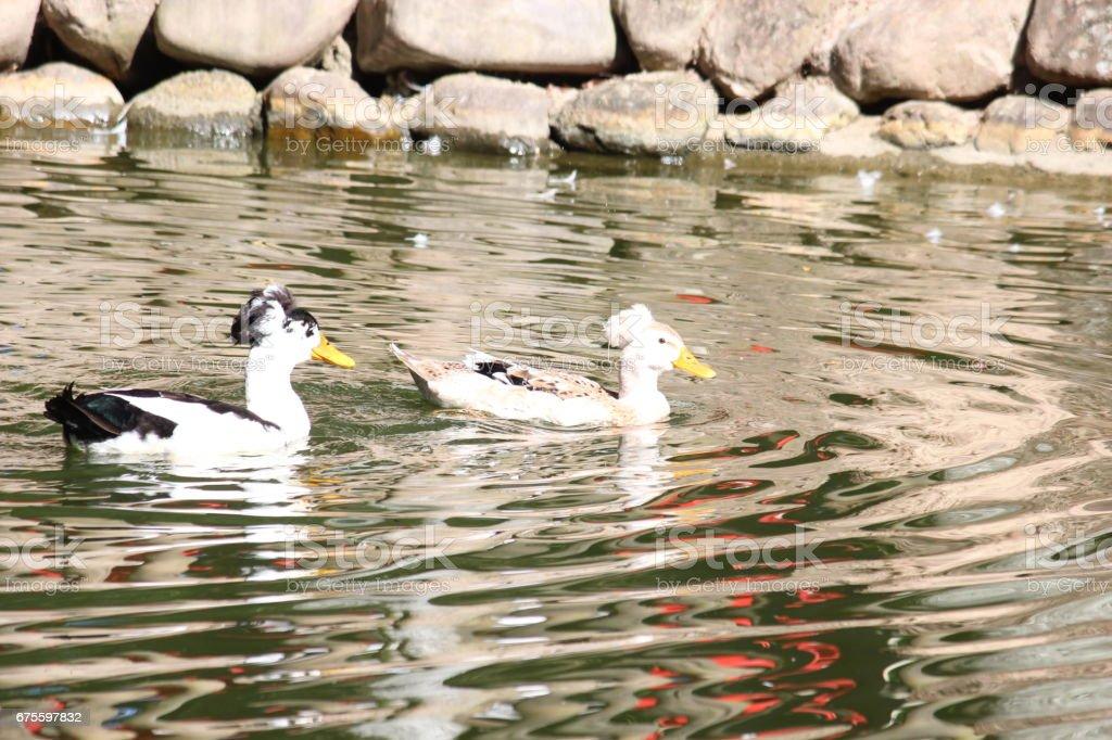 Canard dans le lac  photo libre de droits