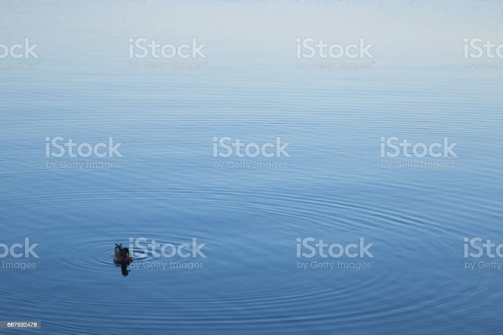 Duck in the still waters of Lake Bolsena located in the center of Italy and is the largest lake of volcanic origin in Europe. foto stock royalty-free