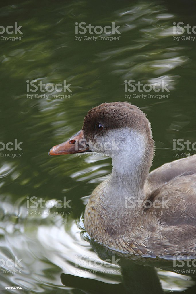 Duck in water royalty-free stock photo