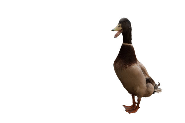 Duck is an Indian slider (Indian Runner) Duck is an Indian slider (Indian Runner). Drake isolated on white background drake male duck stock pictures, royalty-free photos & images