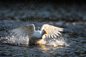 White duck landing on a pond.