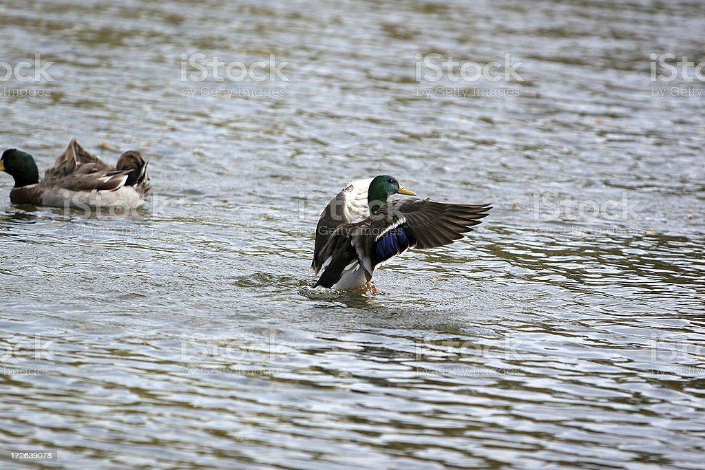 Duck Landing stock photo
