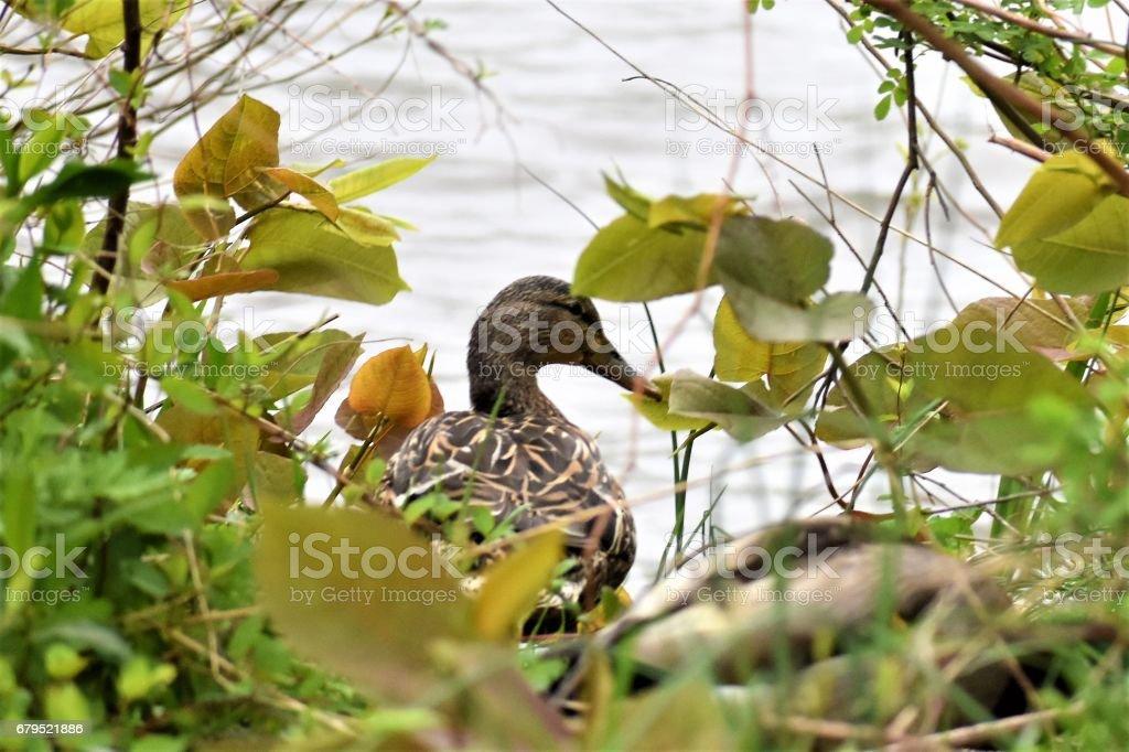 Duck Life royalty-free stock photo