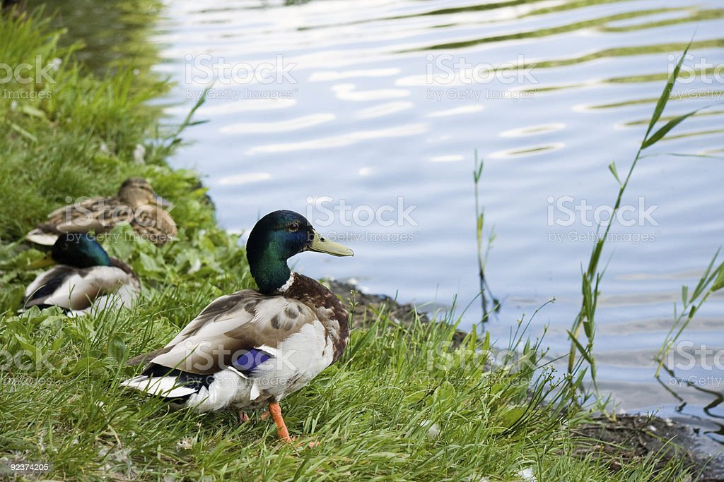 Duck male on lake shore royalty-free stock photo