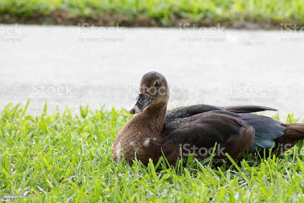 Duck Model royalty-free stock photo