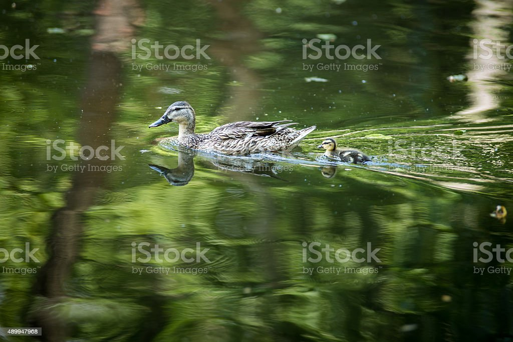 Duck mom and son royalty-free stock photo