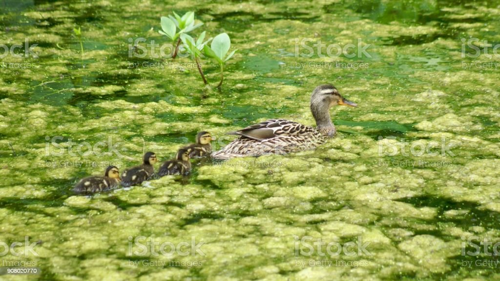 Duck mother with her biddies stock photo