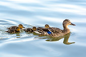 Duck mother leading her ducklings in the water. They are swimming in the line across the lake. Slightly wavy water surface reflects the blue color of clear sky.