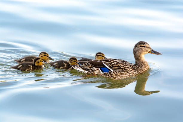 Duck mother with her ducklings swimming in water stock photo