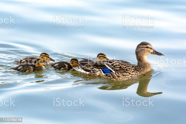 Photo of Duck mother with her ducklings swimming in water